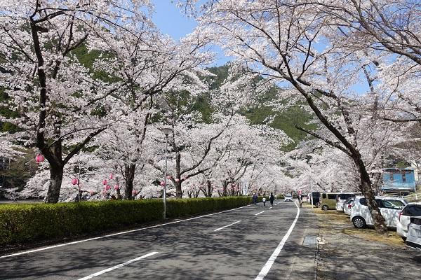 下北山スポーツ公園道路沿いの桜