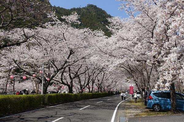 下北山スポーツ公園桜