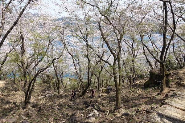 鬼ヶ城山道桜