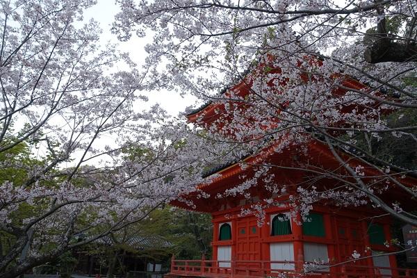 紀三井寺多宝塔と桜