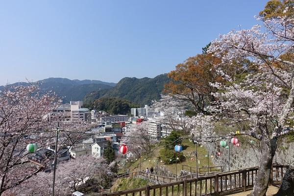 新宮城跡石垣沿いの桜